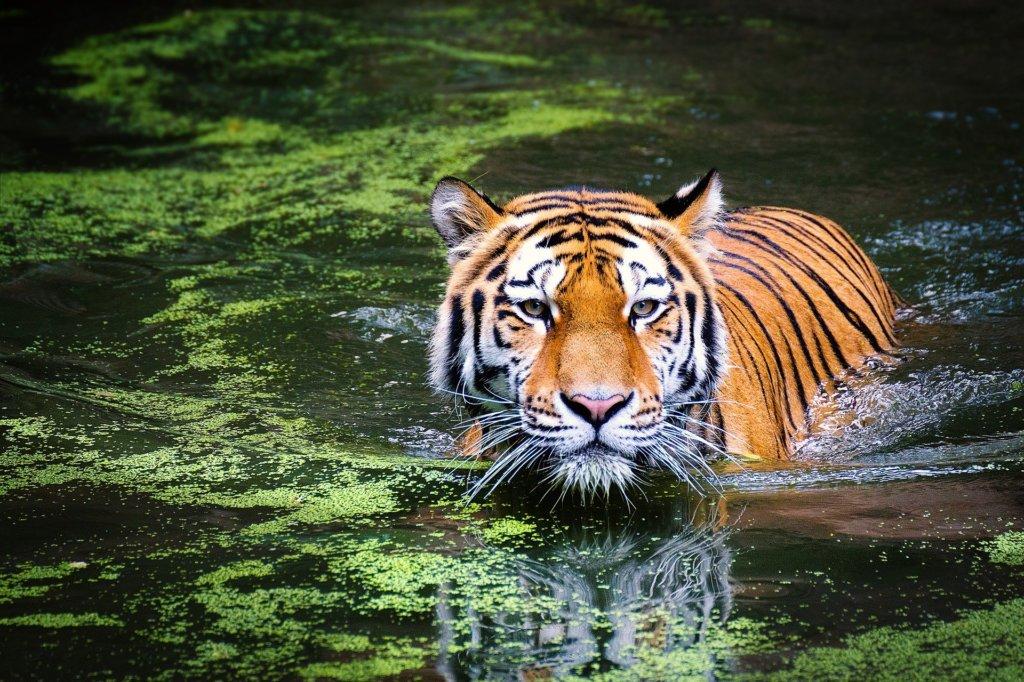 A tiger walking through water